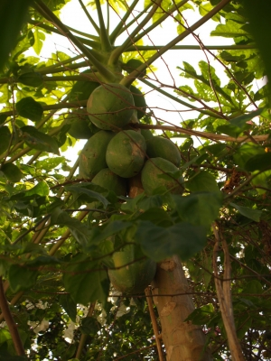 If you are lucky the papaya tree will have fruits.