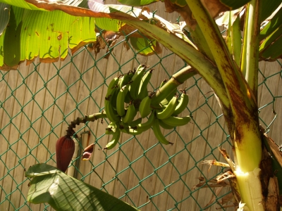 Will the banana tree have bananas?