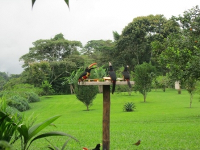 Family of aracaries at our bird feeder